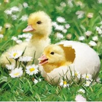 NEWBORN CHICKS, Ambiente